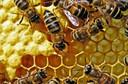 Picadas (ferroadas) de abelhas: quais são as consequências? Como se proteger?